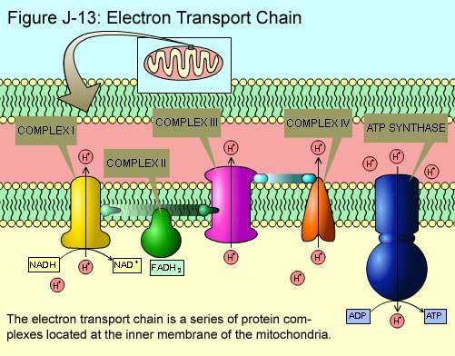 electron-transport-chain