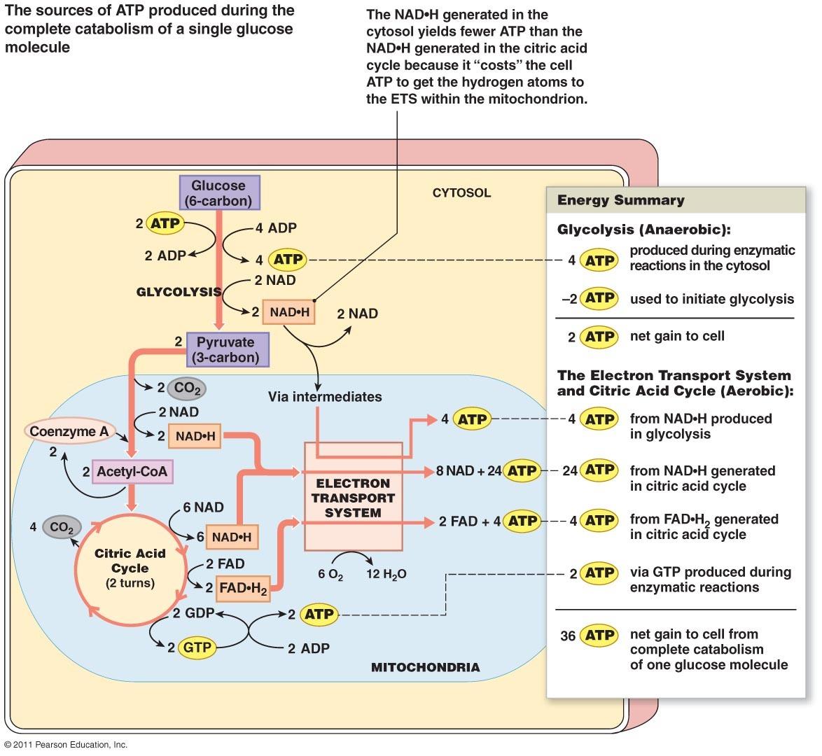 Krebs-cycle-diagram-quiz-i17